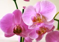 Спасаем орхидею от гнили