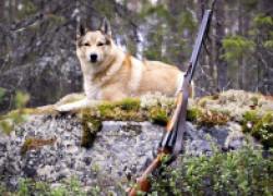 Таежная охота, или собаки против медведицы