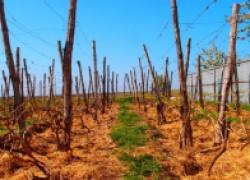 Ремонт виноградников: усталость почвы
