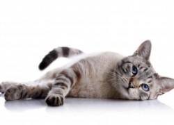 Чем грозят кошке «противозачаточные» таблетки