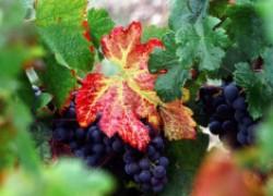 Листва красная такая – краснуха винограда