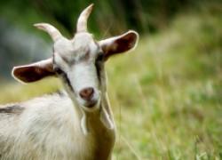 У козы пропала жвачка