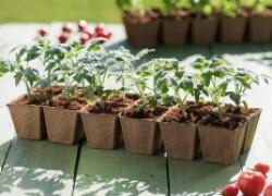 Режем рассаду и удваиваем урожай