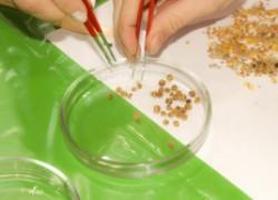 Выбираем здоровые семена: сортируем, калибруем