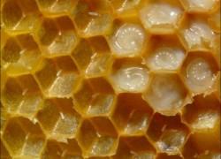 Здоровье из улья: пчелиное маточное молочко
