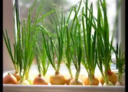 Лучшие способы выращивания лука на перо