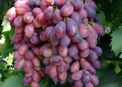 Болгарские сорта винограда Афродита и Ася