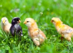Какую траву можно давать цыплятам