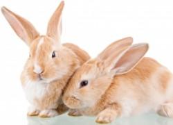 Метеоризм у кроликов