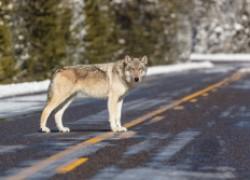 От страха за свою жизнь она задушила волка