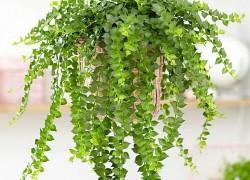 Дисхидии – странные растения