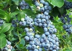 Как посадить голубику, чтобы получать высокий урожай