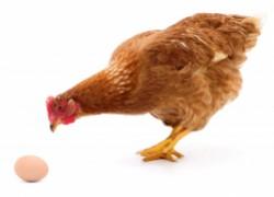 Самые популярные «дурные привычки» у кур и методы их перевоспитания