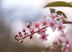 Сакура – украшение сада