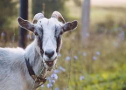 Все, что нужно знать тем, кто впервые решил завести коз