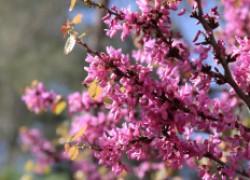 Церцис: эффект и красота европейской сакуры