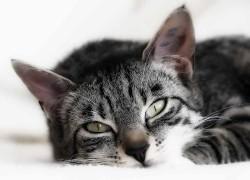 Гемобартенеллез у кошек