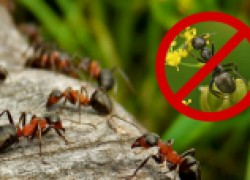 Суперсредство от муравьев