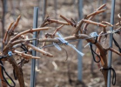 Про сухую подвязку винограда