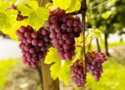 Как выбрать сорт винограда по описанию
