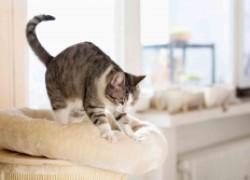 Зачем кошка топчет лапками?