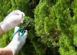 Укоренить вечнозеленые хвойные легко