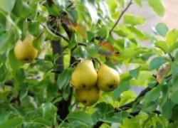 ПЯТЬ проверенных способов заставить грушу быстрее плодоносить