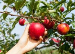 Право на сбор яблок с соседского участка