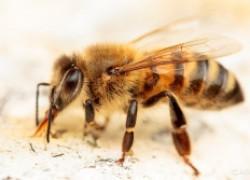 Пчелы против терроризма!