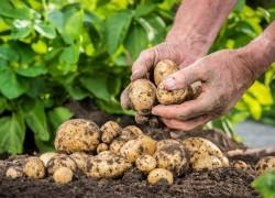 Выращивание картофеля по-китайски