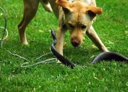 Что делать, если собаку укусила змея