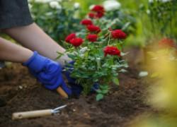 Угощаем розы коктейлем для цветения