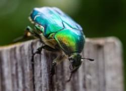 Как бороться с жуком оленкой и бронзовкой