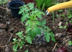 Особые подкормки для высокорослых томатов