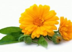 Без календулы цветник не светится