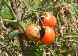 Столбур помидоров: только профилактика