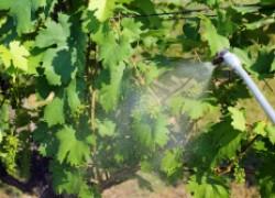 О доопылении винограда и стимуляторах