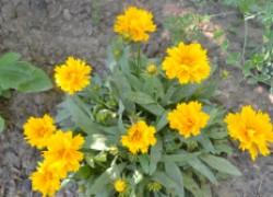 Кореопсис украсит сад