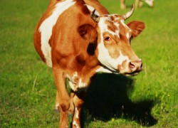 Корова есть, быка нет. Что делать?