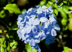Свинчатка – голубое небо в цветнике