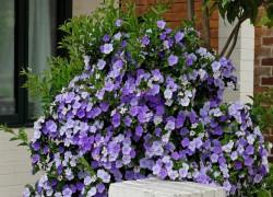 Брунфельсия: моя ароматная любимица