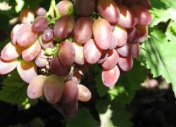 Самые крупные сорта на моем винограднике