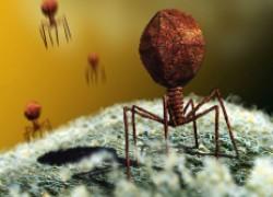 Бактериофаги – биологическая альтернатива антибиотикам