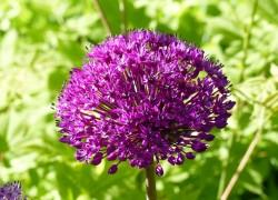 Аллиум – оригинально цветущий лук