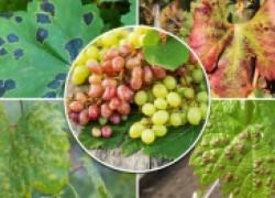 Первые ласточки: болезни на винограде