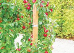 Если яблоня уродила