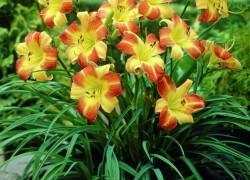 Секреты успеха выращивания лилейников