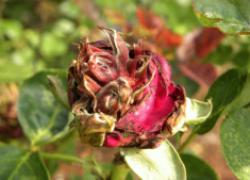Почему у роз засыхают и вянут бутоны