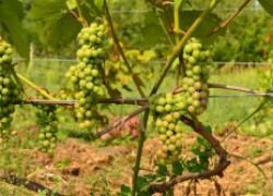Об осветлении гроздей