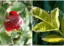 Цветы тоже страдают... от клещей